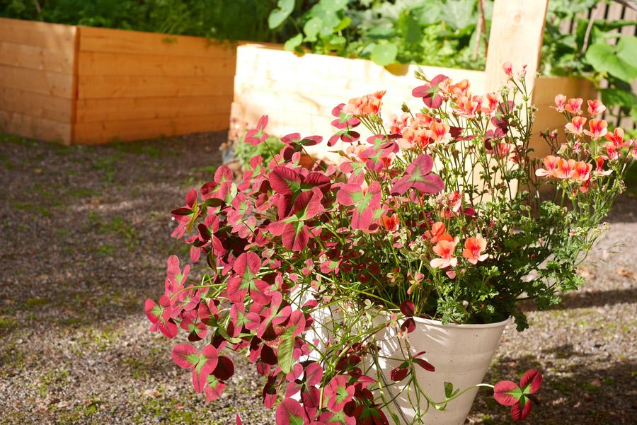tuulinenpaiva.fi-garden-geranium-and-clovers