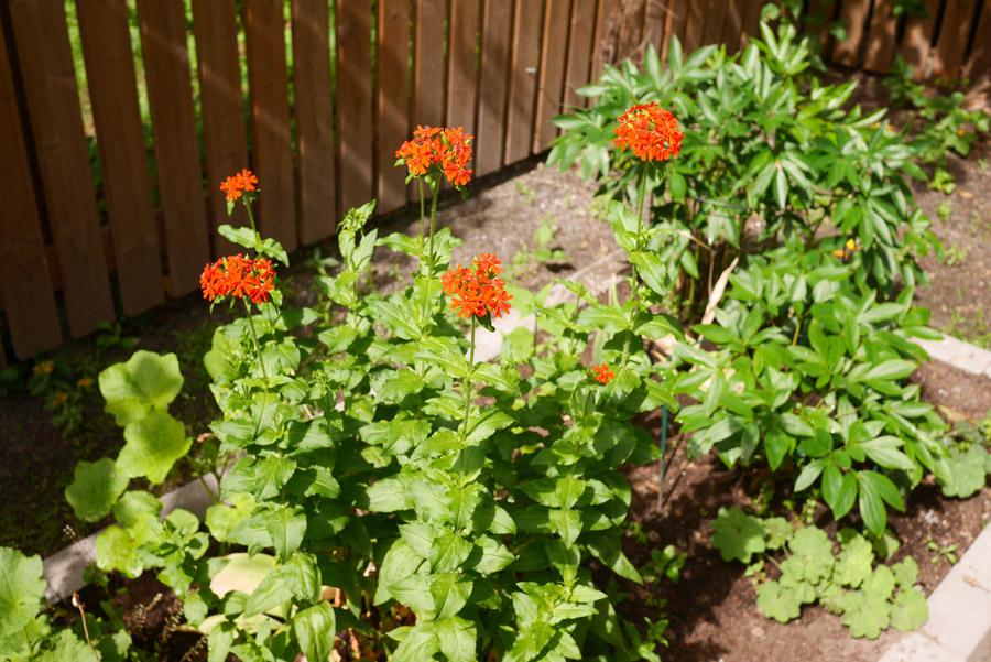 tuulinenpaiva.fi-garden-perennials