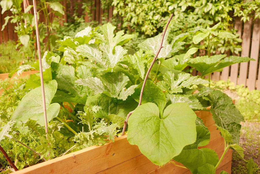 tuulinenpaiva.fi-garden-squashes