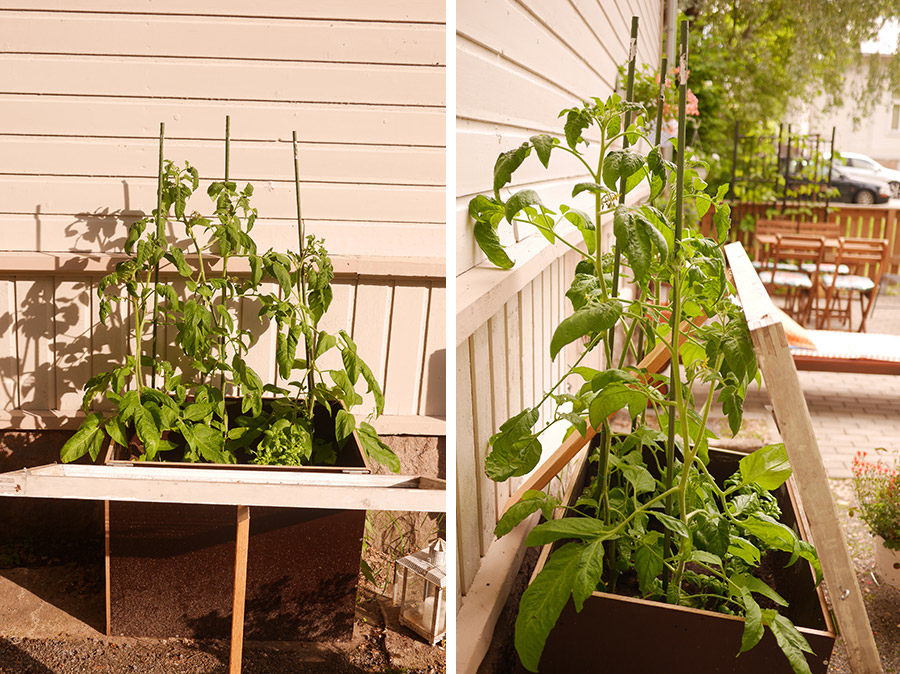 tuulinenpaiva.fi-garden-tomatoes