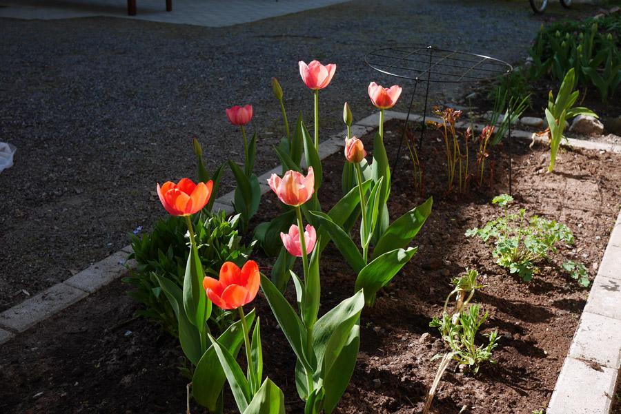 tuulinenpaiva.fi-tulips1
