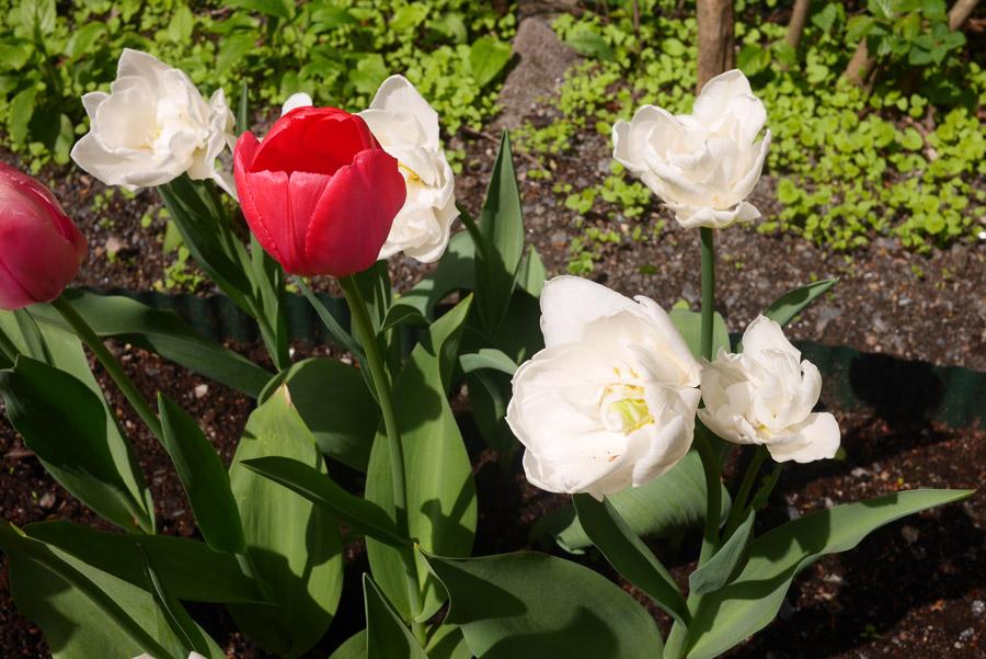 tuulinenpaiva.fi-tulips2
