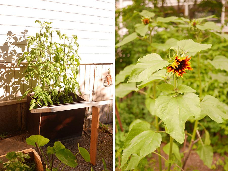 tuulinenpaiva.fi-tomatoes-and-sunflowers