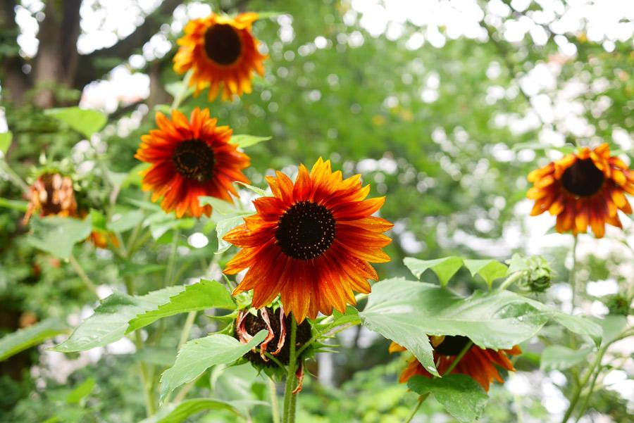 tuulinenpaiva.fi-kasvilavat-auringonkukat