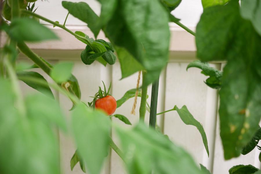 tuulinenpaiva.fi-kasvilavat-tomaatti