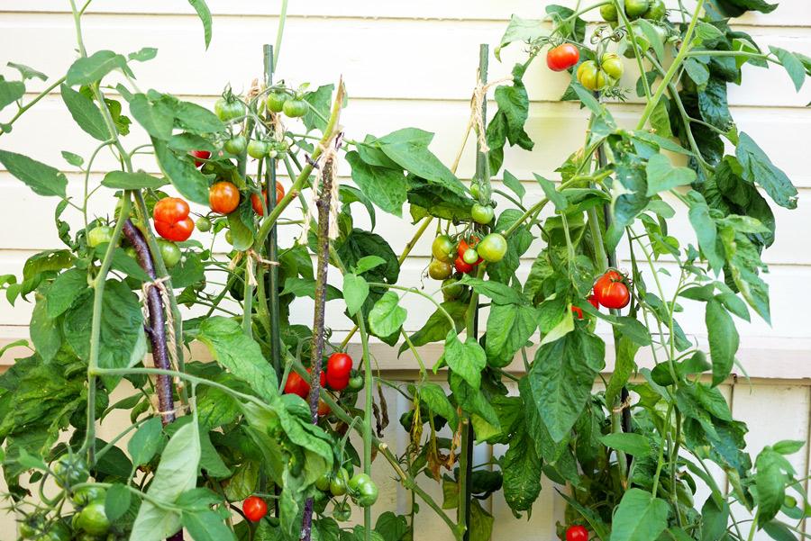 tuulinenpaiva-fi-syysvarustautuminen-tomaatit