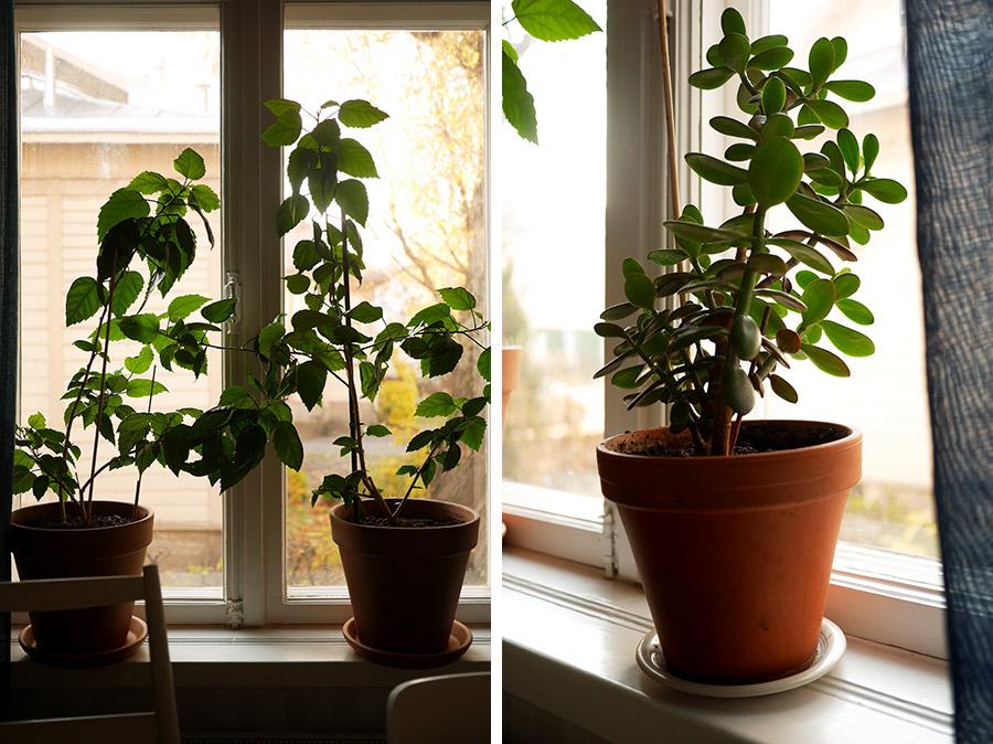tuulinenpaiva-fi-viherkasvit-kiinanruusut-ja-rahapuu