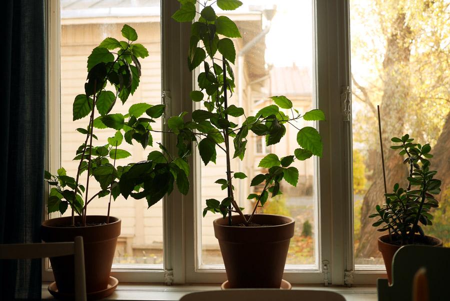 tuulinenpaiva-fi-viherkasvit-kiinanruusut
