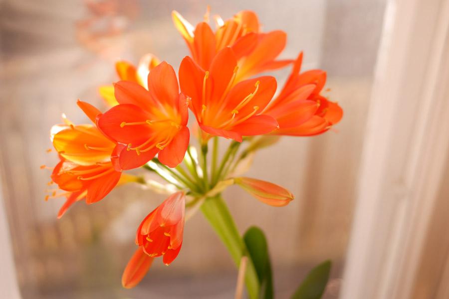 tuulinenpaiva-fi-viherkasvit-kliivia-kukkii